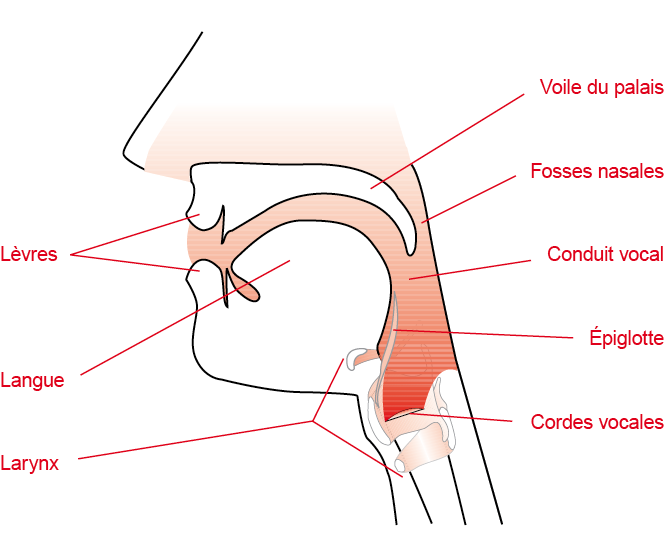Vocal tract